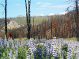 Flowers in burned forest